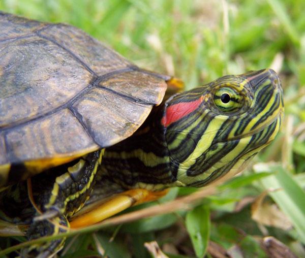 Land Turtles As Pets : Turtles+As+Pets Turtles as Pets -Not my Favorite - Danielle ...